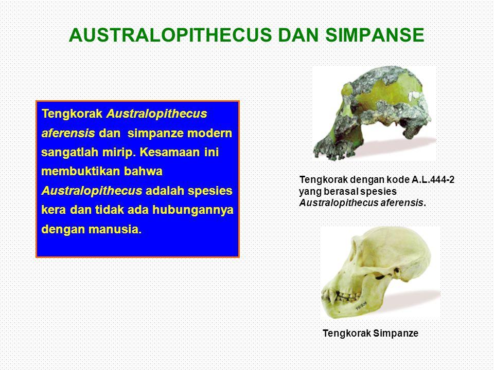 AUSTRALOPITHECUS DAN SIMPANSE Tengkorak Australopithecus aferensis dan simpanze modern sangatlah mirip. Kesamaan ini membuktikan bahwa Australopithecu
