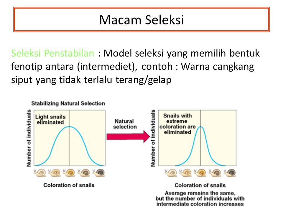 Macam Seleksi Seleksi Penstabilan Seleksi Penstabilan : Model seleksi yang memilih bentuk fenotip antara (intermediet), contoh : Warna cangkang siput