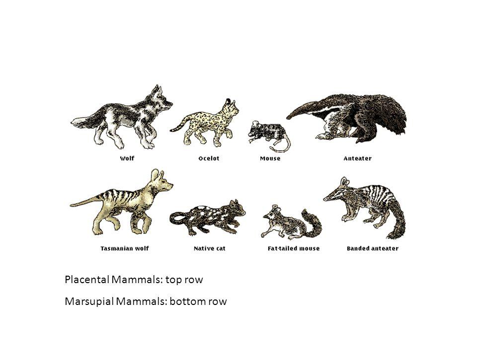 Placental Mammals: top row Marsupial Mammals: bottom row