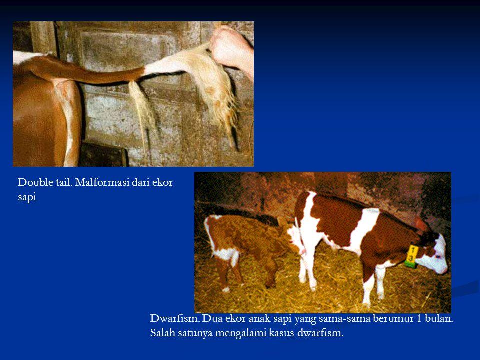 Double tail. Malformasi dari ekor sapi Dwarfism. Dua ekor anak sapi yang sama-sama berumur 1 bulan. Salah satunya mengalami kasus dwarfism.