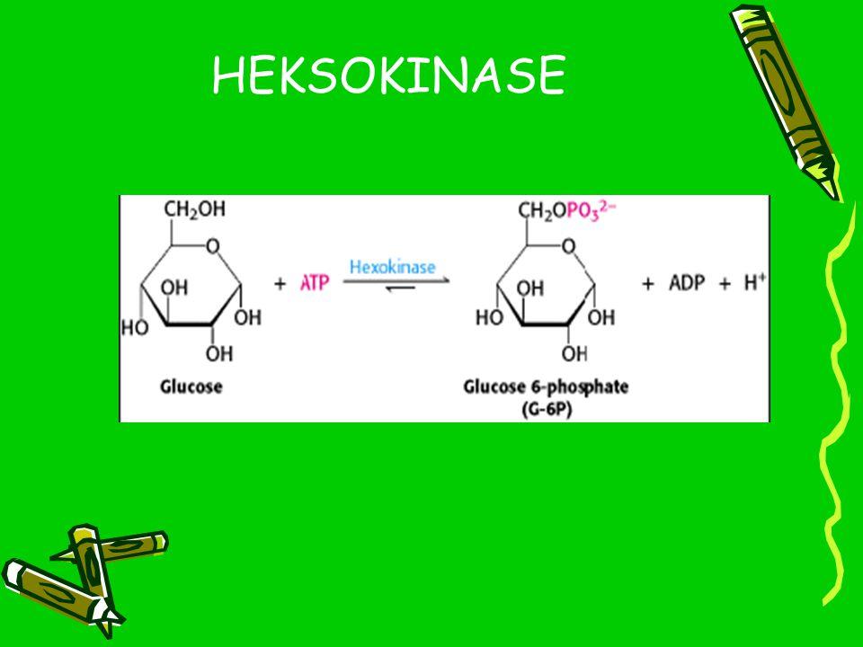 Kerja Heksokinase Heksokinase berperan dalam proses fosforilasi glukosa oleh ATP menjadi glukosa-6-phosphate.