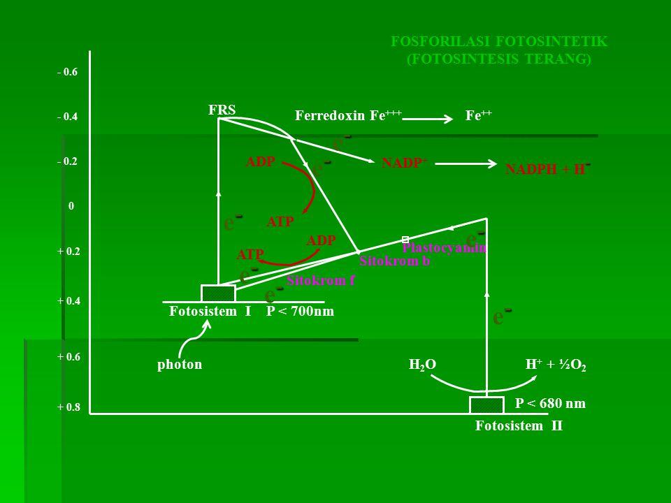 photon ATP ADP H2OH2O ATP H + + ½O 2 + 0.8 + 0.6 + 0.4 + 0.2 0 - 0.2 - 0.4 - 0.6 Fotosistem I P < 700nm Fotosistem II P < 680 nm ADP FOSFORILASI FOTOS