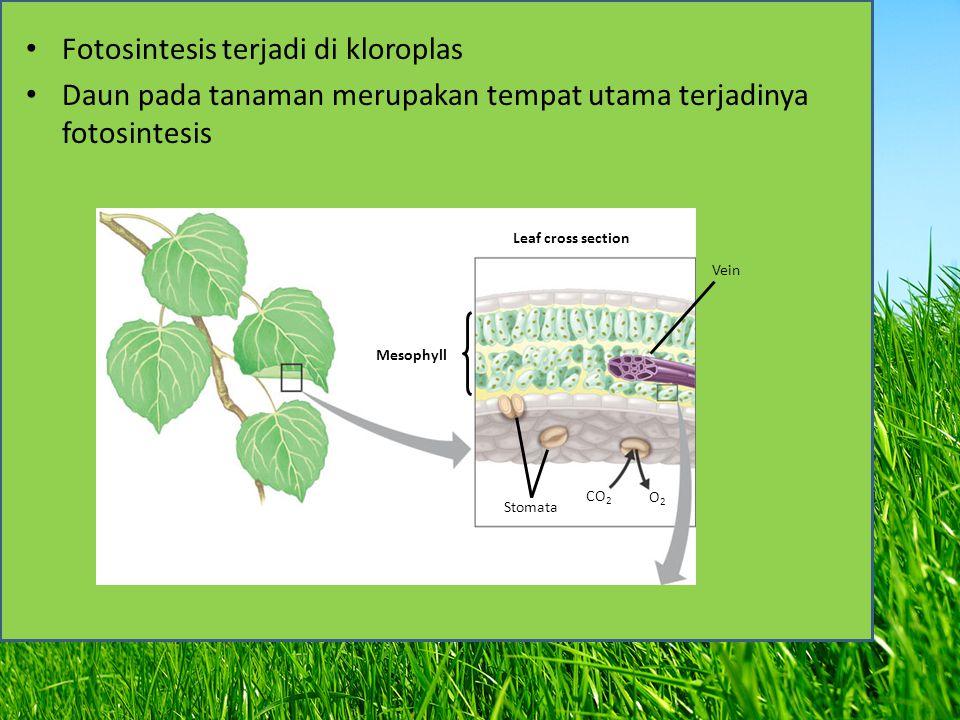 Fotosintesis terjadi di kloroplas Daun pada tanaman merupakan tempat utama terjadinya fotosintesis Vein Leaf cross section Mesophyll CO 2 O2O2 Stomata