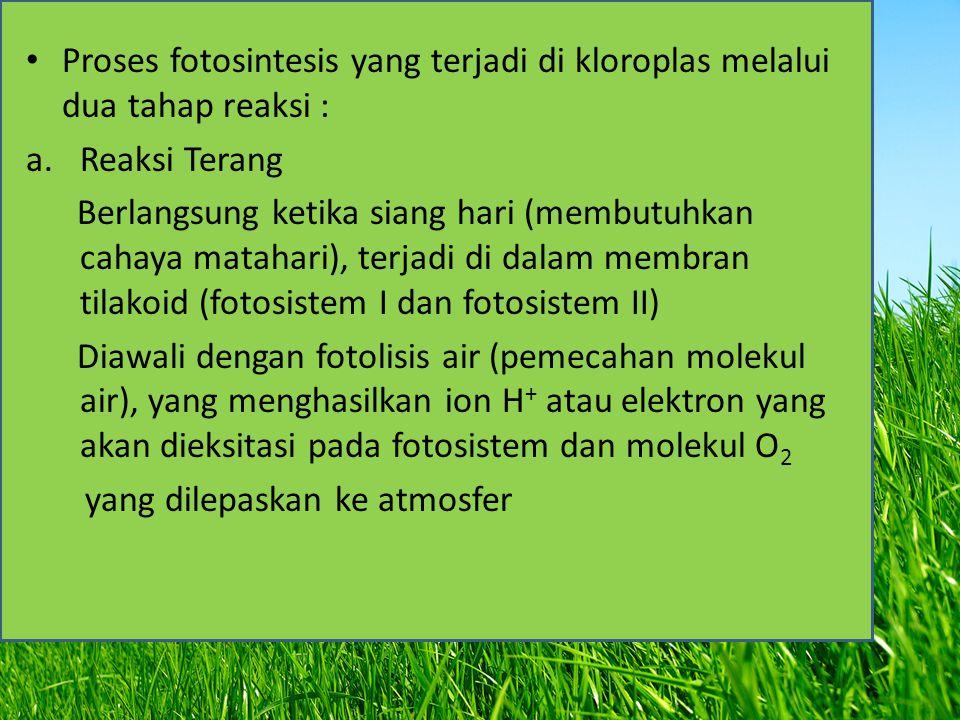 Proses fotosintesis yang terjadi di kloroplas melalui dua tahap reaksi : a.Reaksi Terang Berlangsung ketika siang hari (membutuhkan cahaya matahari),