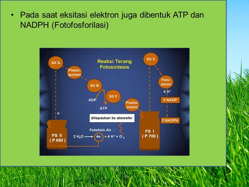 Hasil Akhir Reaksi Terang > Pada fotolisis air oksigen (O 2 ) dilepaskan ke atmosfer, sedangkan elektron dalam bentuk ion H + dieksitasi ke fotosistem.
