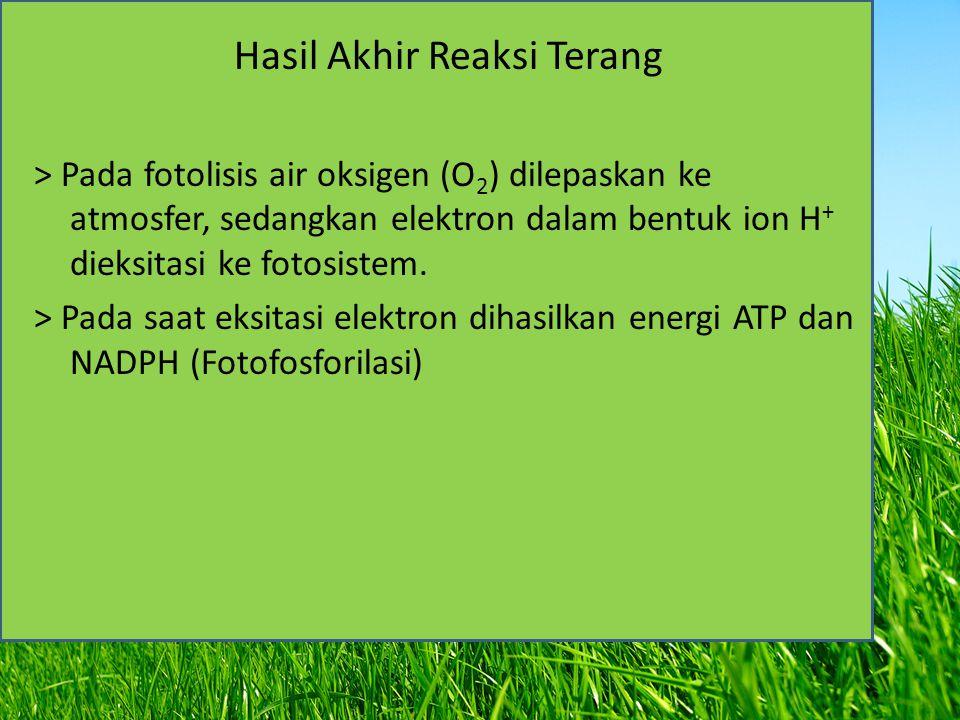 Hasil Akhir Reaksi Terang > Pada fotolisis air oksigen (O 2 ) dilepaskan ke atmosfer, sedangkan elektron dalam bentuk ion H + dieksitasi ke fotosistem