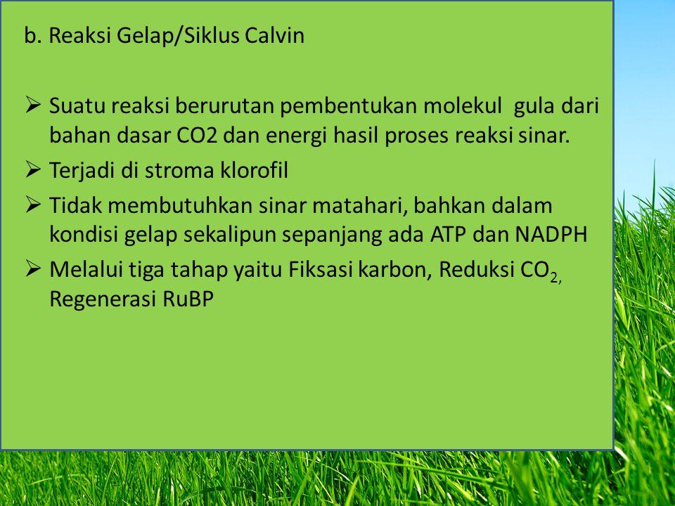 b. Reaksi Gelap/Siklus Calvin  Suatu reaksi berurutan pembentukan molekul gula dari bahan dasar CO2 dan energi hasil proses reaksi sinar.  Terjadi d