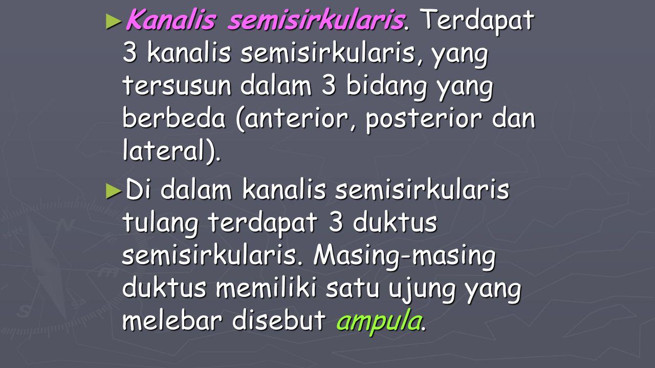 ► Kanalis semisirkularis. Terdapat 3 kanalis semisirkularis, yang tersusun dalam 3 bidang yang berbeda (anterior, posterior dan lateral). ► Di dalam k