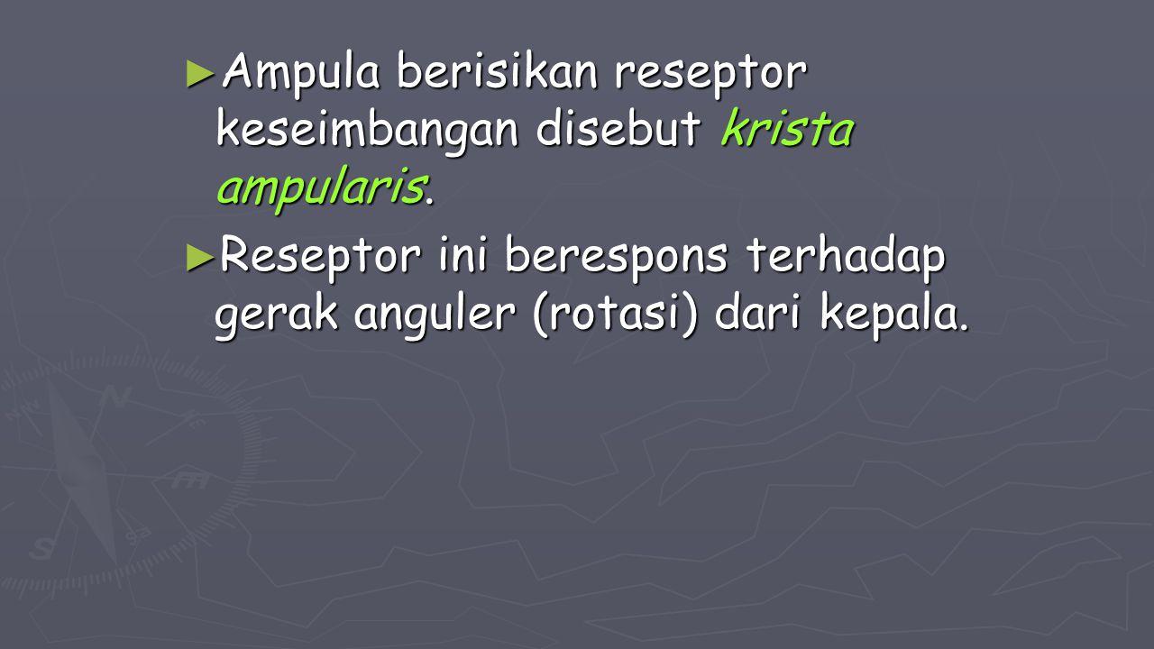 ► Ampula berisikan reseptor keseimbangan disebut krista ampularis. ► Reseptor ini berespons terhadap gerak anguler (rotasi) dari kepala.