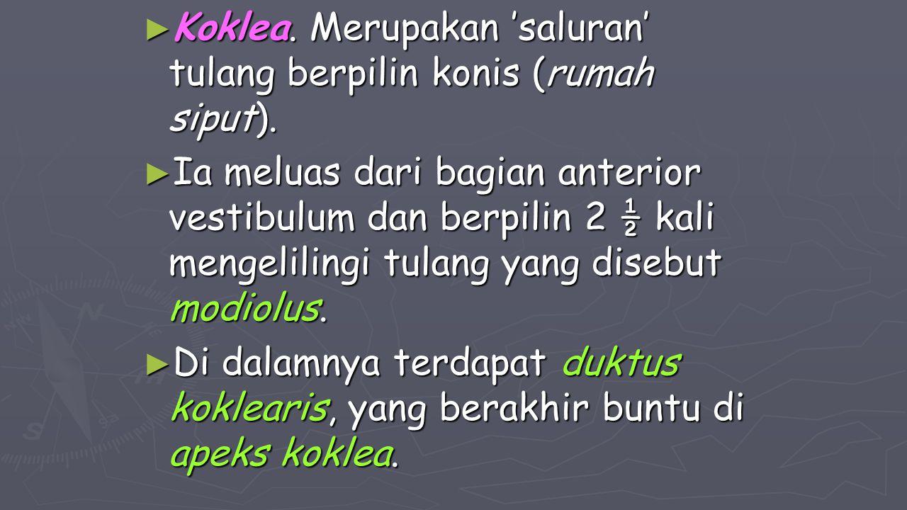 ► Koklea. Merupakan 'saluran' tulang berpilin konis (rumah siput). ► Ia meluas dari bagian anterior vestibulum dan berpilin 2 ½ kali mengelilingi tula