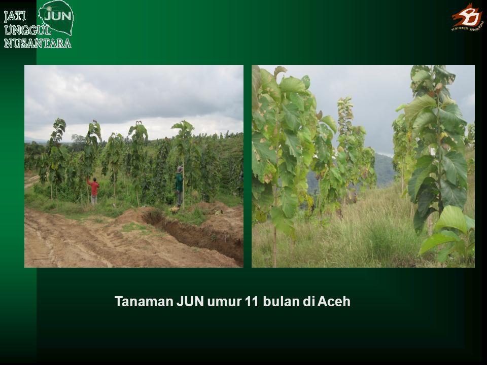 Tanaman JUN umur 11 bulan di Aceh