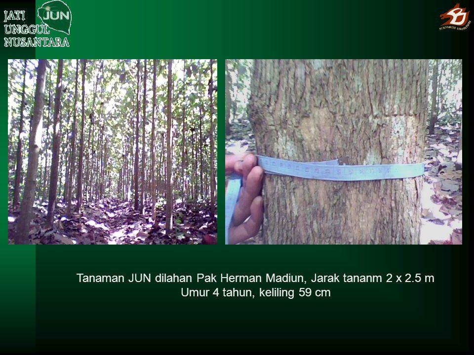 Tanaman JUN dilahan Pak Herman Madiun, Jarak tananm 2 x 2.5 m Umur 4 tahun, keliling 59 cm
