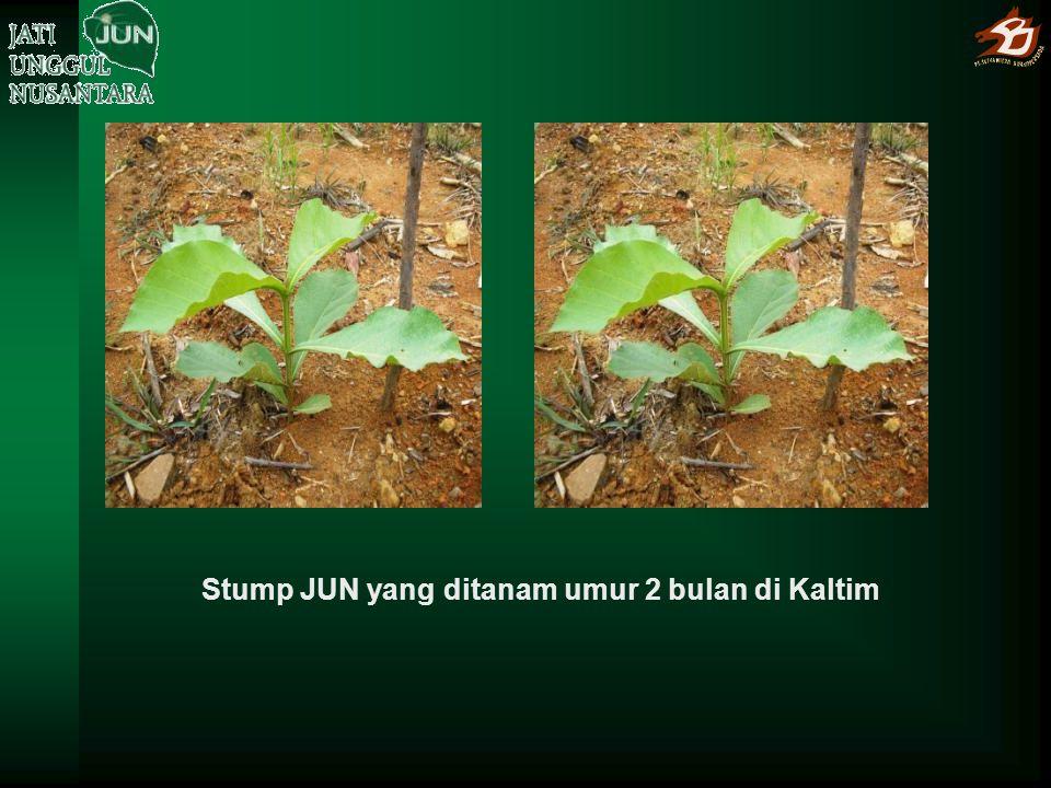 Stump JUN yang ditanam umur 2 bulan di Kaltim