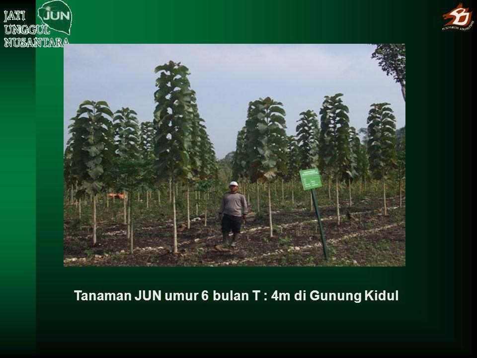 Tanaman JUN umur 6 bulan T : 4m di Gunung Kidul