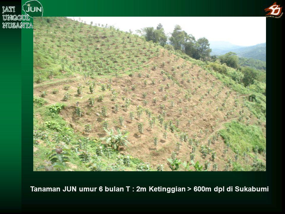 Tanaman JUN umur 6 bulan T : 2m Ketinggian > 600m dpl di Sukabumi