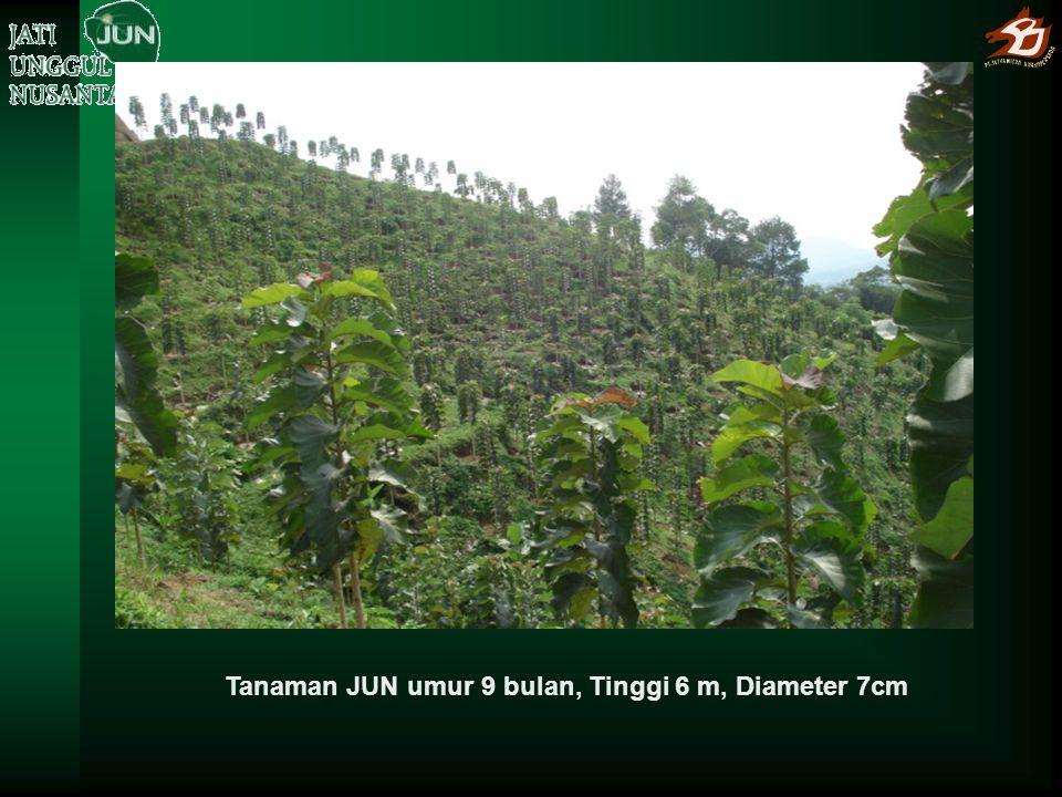 Jati JUN umur 5 tahun dengan Ø 35 cm dan tinggi batang bebas cabang 8 m di Tegal