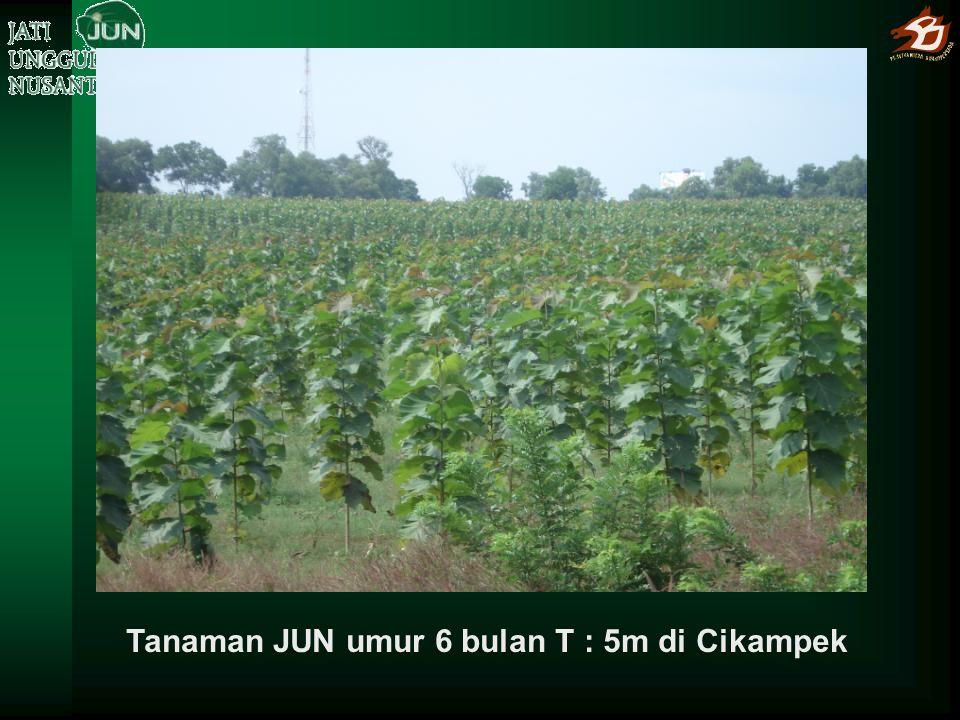 Peninjauan Menhut pada tanaman JUN umur 1,5 tahun, Ø 10-12 cm, T 8-9 m di Wonosari, Yogyakarta, 20-09-2011
