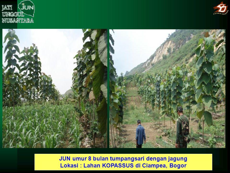 JUN umur 8 bulan tumpangsari dengan jagung Lokasi : Lahan KOPASSUS di Ciampea, Bogor