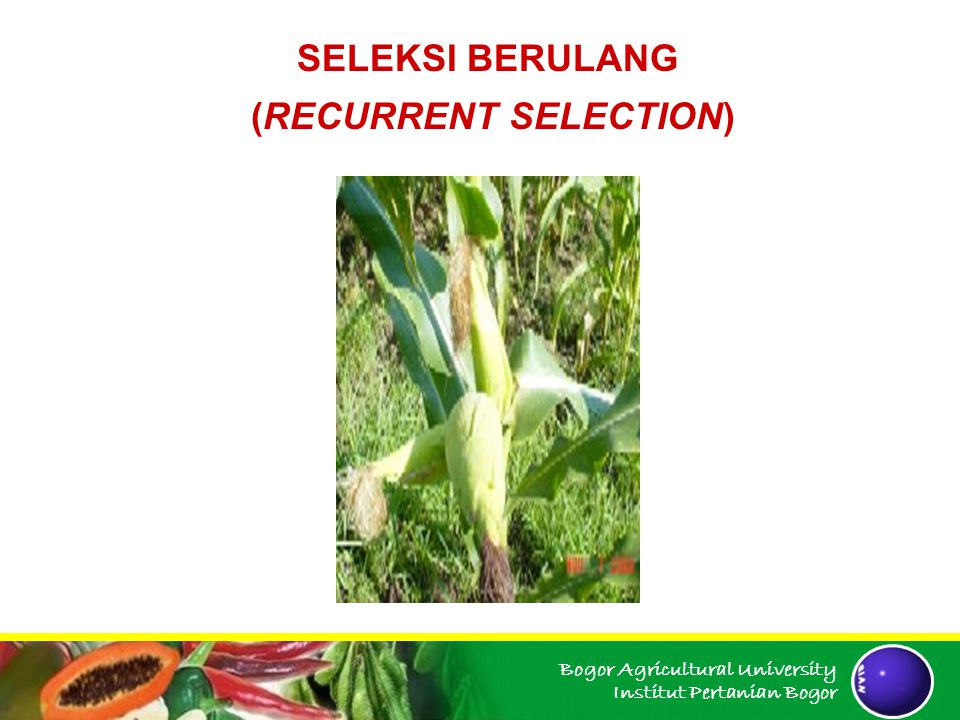 Bogor Agricultural University Institut Pertanian Bogor 1.SELEKSI BERULANG FENOTIPE a.