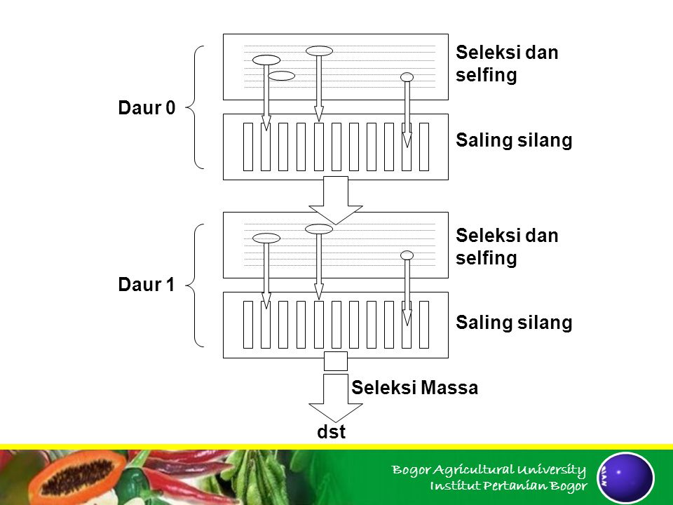Bogor Agricultural University Institut Pertanian Bogor dst Seleksi dan selfing Saling silang Seleksi dan selfing Saling silang Seleksi Massa Daur 0 Da