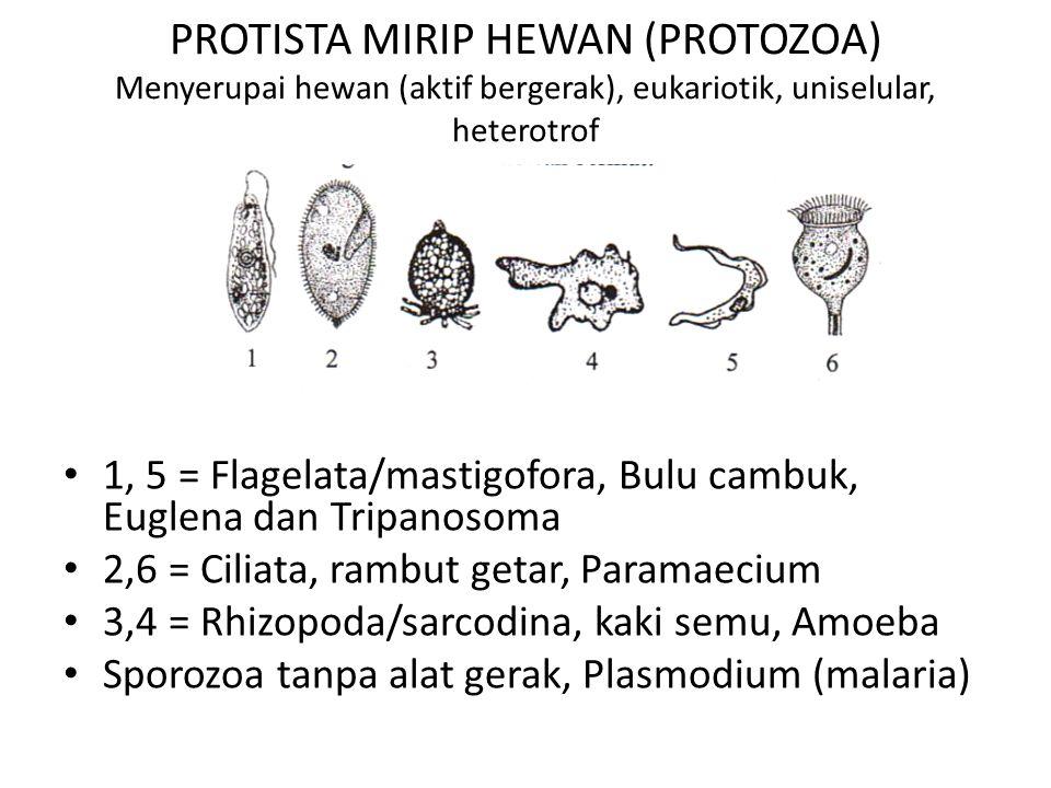 PROTISTA MIRIP HEWAN (PROTOZOA) Menyerupai hewan (aktif bergerak), eukariotik, uniselular, heterotrof 1, 5 = Flagelata/mastigofora, Bulu cambuk, Euglena dan Tripanosoma 2,6 = Ciliata, rambut getar, Paramaecium 3,4 = Rhizopoda/sarcodina, kaki semu, Amoeba Sporozoa tanpa alat gerak, Plasmodium (malaria)