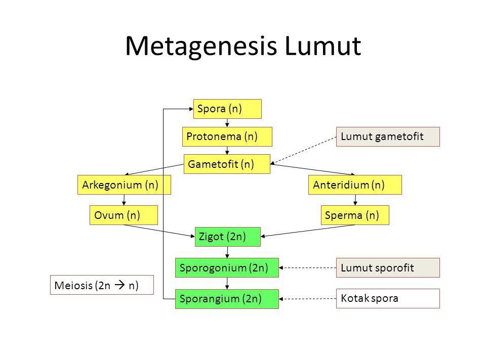 Metagenesis Lumut Spora (n) Protonema (n) Gametofit (n) Anteridium (n)Arkegonium (n) Ovum (n)Sperma (n) Zigot (2n) Sporogonium (2n)Lumut sporofit Lumut gametofit Sporangium (2n) Kotak spora Meiosis (2n  n)