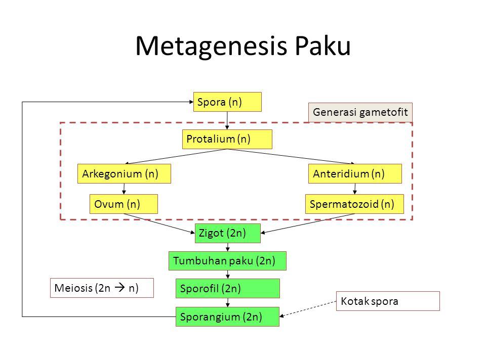 Metagenesis Paku Spora (n) Protalium (n) Anteridium (n)Arkegonium (n) Ovum (n)Spermatozoid (n) Zigot (2n) Tumbuhan paku (2n) Sporangium (2n) Kotak spora Meiosis (2n  n) Generasi gametofit Sporofil (2n)
