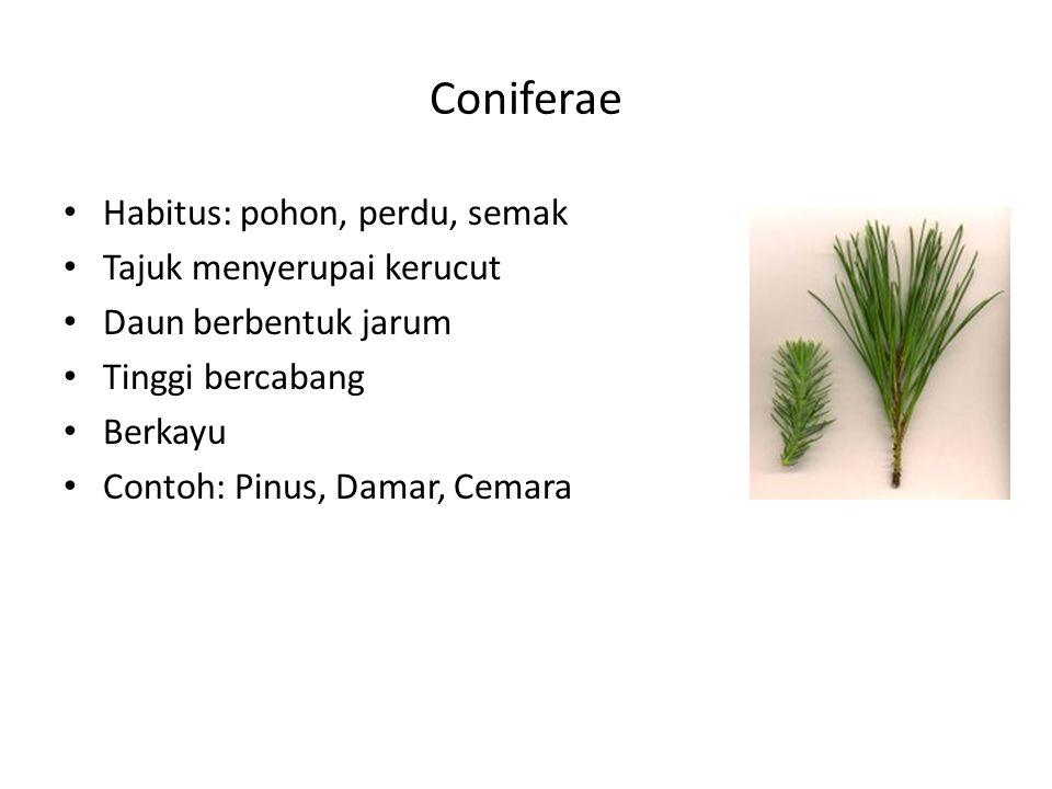Coniferae Habitus: pohon, perdu, semak Tajuk menyerupai kerucut Daun berbentuk jarum Tinggi bercabang Berkayu Contoh: Pinus, Damar, Cemara