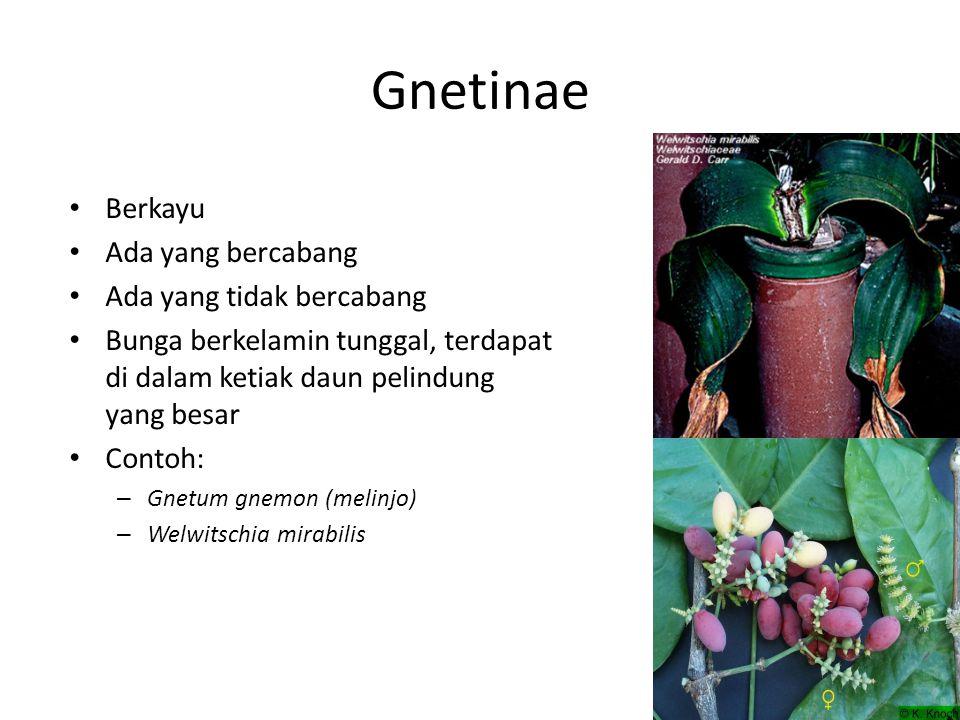 Gnetinae Berkayu Ada yang bercabang Ada yang tidak bercabang Bunga berkelamin tunggal, terdapat di dalam ketiak daun pelindung yang besar Contoh: – Gnetum gnemon (melinjo) – Welwitschia mirabilis