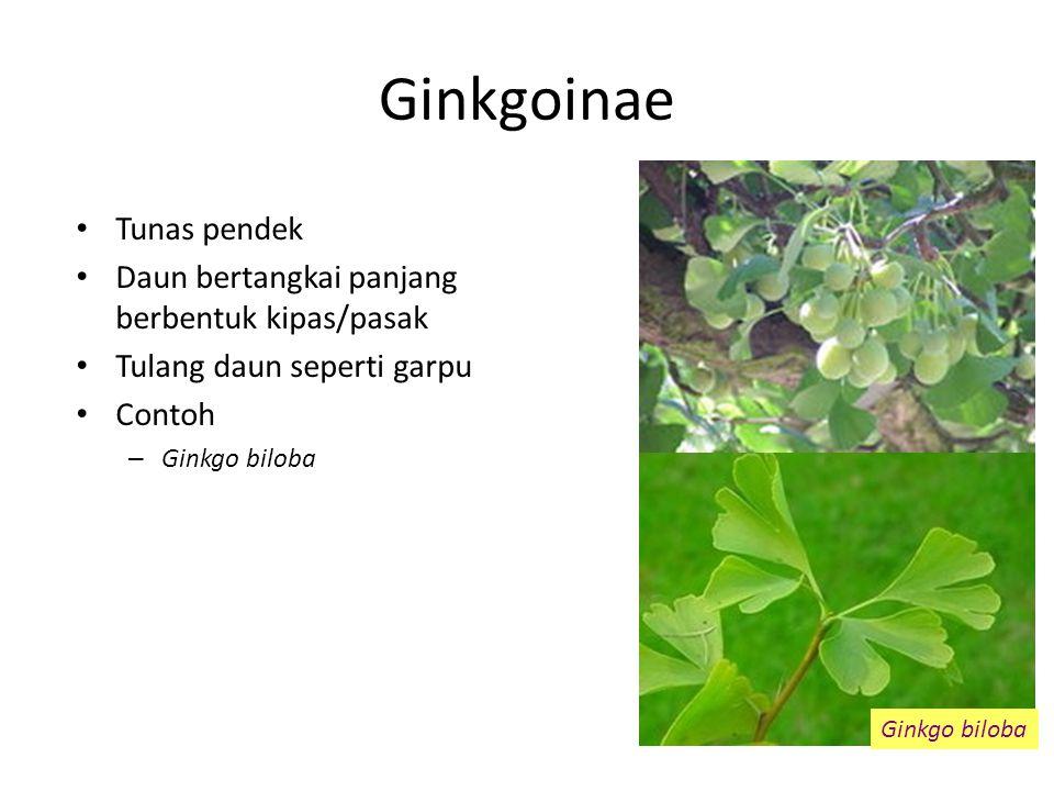 Ginkgoinae Tunas pendek Daun bertangkai panjang berbentuk kipas/pasak Tulang daun seperti garpu Contoh – Ginkgo biloba Ginkgo biloba
