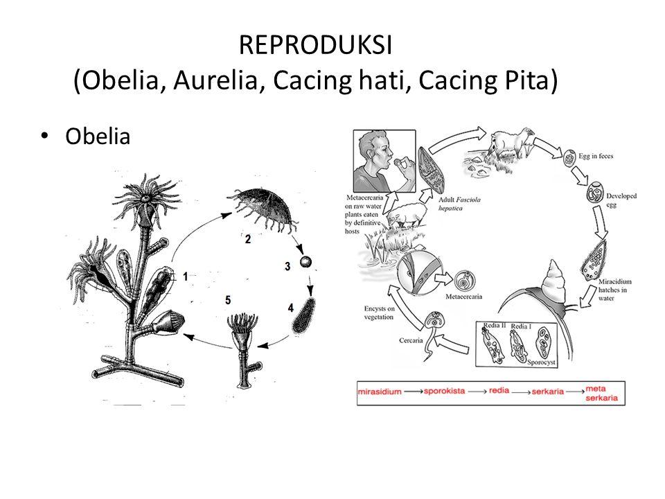 REPRODUKSI (Obelia, Aurelia, Cacing hati, Cacing Pita) Obelia Cacing hati