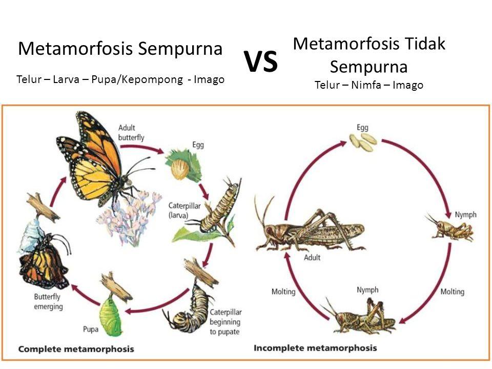 Metamorfosis Tidak Sempurna Telur – Nimfa – Imago Metamorfosis Sempurna Telur – Larva – Pupa/Kepompong - Imago VS