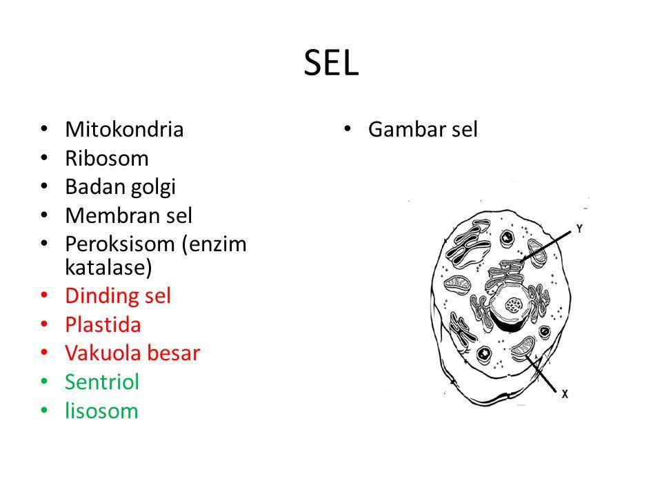 SEL Mitokondria Ribosom Badan golgi Membran sel Peroksisom (enzim katalase) Dinding sel Plastida Vakuola besar Sentriol lisosom Gambar sel