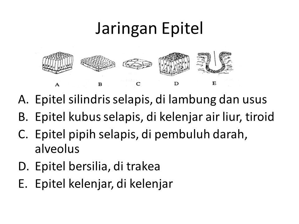 Jaringan Epitel A.Epitel silindris selapis, di lambung dan usus B.Epitel kubus selapis, di kelenjar air liur, tiroid C.Epitel pipih selapis, di pembuluh darah, alveolus D.Epitel bersilia, di trakea E.Epitel kelenjar, di kelenjar