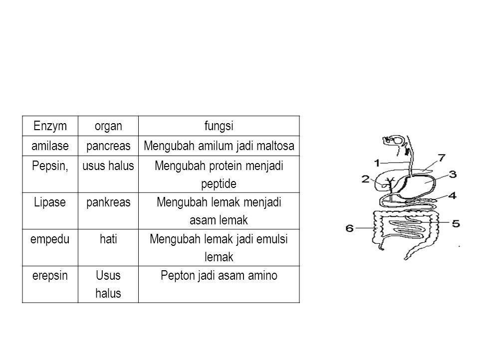 Enzymorganfungsi amilasepancreasMengubah amilum jadi maltosa Pepsin,usus halus Mengubah protein menjadi peptide Lipasepankreas Mengubah lemak menjadi asam lemak empeduhati Mengubah lemak jadi emulsi lemak erepsinUsus halus Pepton jadi asam amino