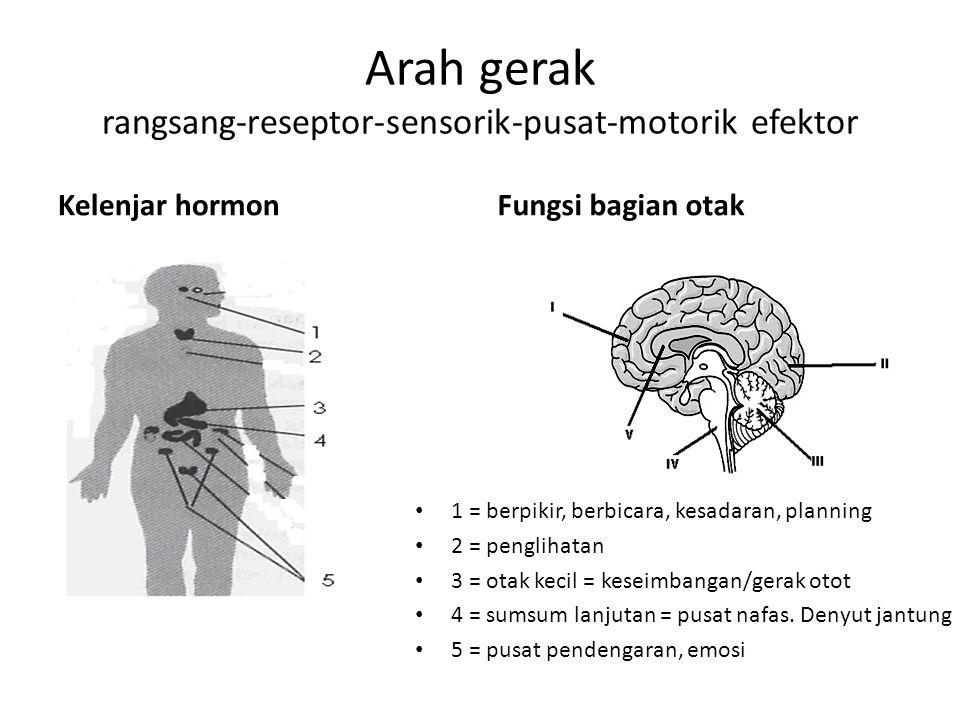 Arah gerak rangsang-reseptor-sensorik-pusat-motorik efektor Kelenjar hormon 1 = berpikir, berbicara, kesadaran, planning 2 = penglihatan 3 = otak kecil = keseimbangan/gerak otot 4 = sumsum lanjutan = pusat nafas.