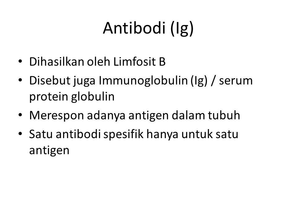 Antibodi (Ig) Dihasilkan oleh Limfosit B Disebut juga Immunoglobulin (Ig) / serum protein globulin Merespon adanya antigen dalam tubuh Satu antibodi spesifik hanya untuk satu antigen