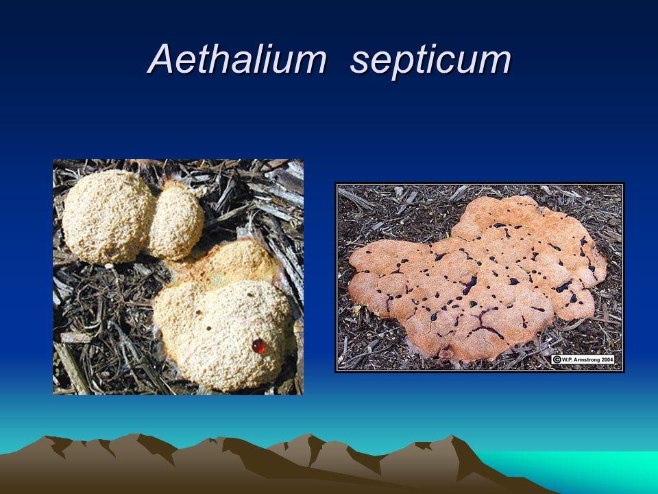 Aethalium septicum