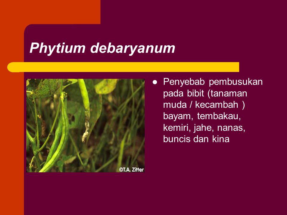 Phytium debaryanum Penyebab pembusukan pada bibit (tanaman muda / kecambah ) bayam, tembakau, kemiri, jahe, nanas, buncis dan kina