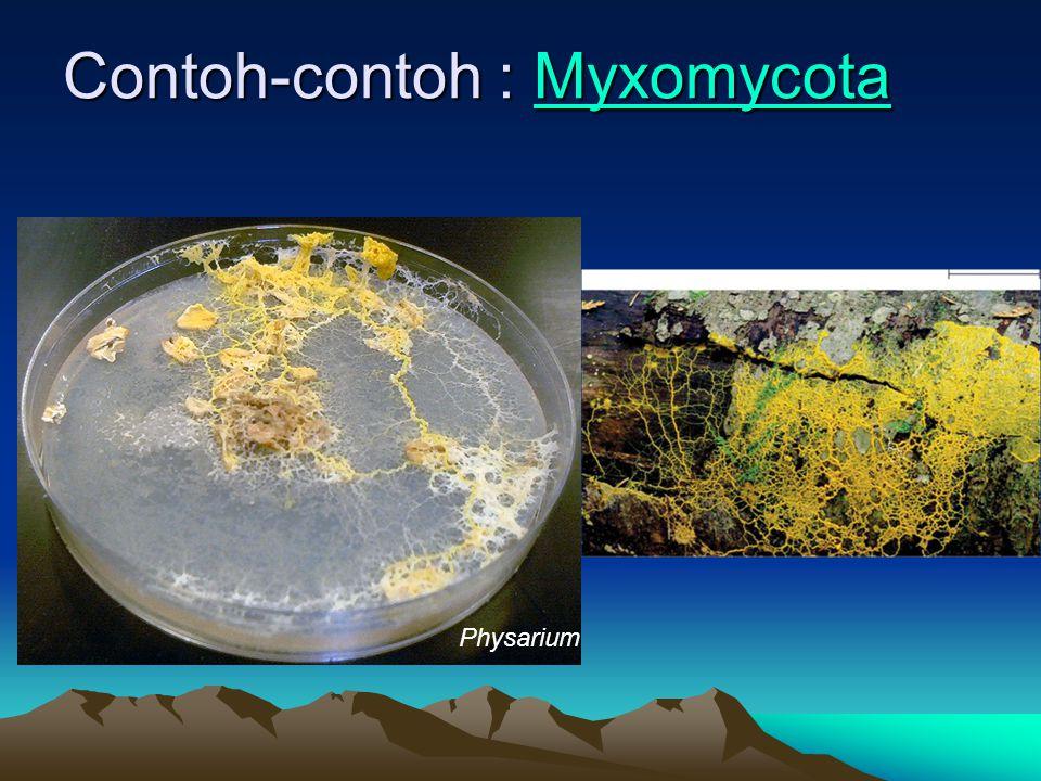 Contoh-contoh : Myxomycota Contoh-contoh : Myxomycota Myxomycota Physarium