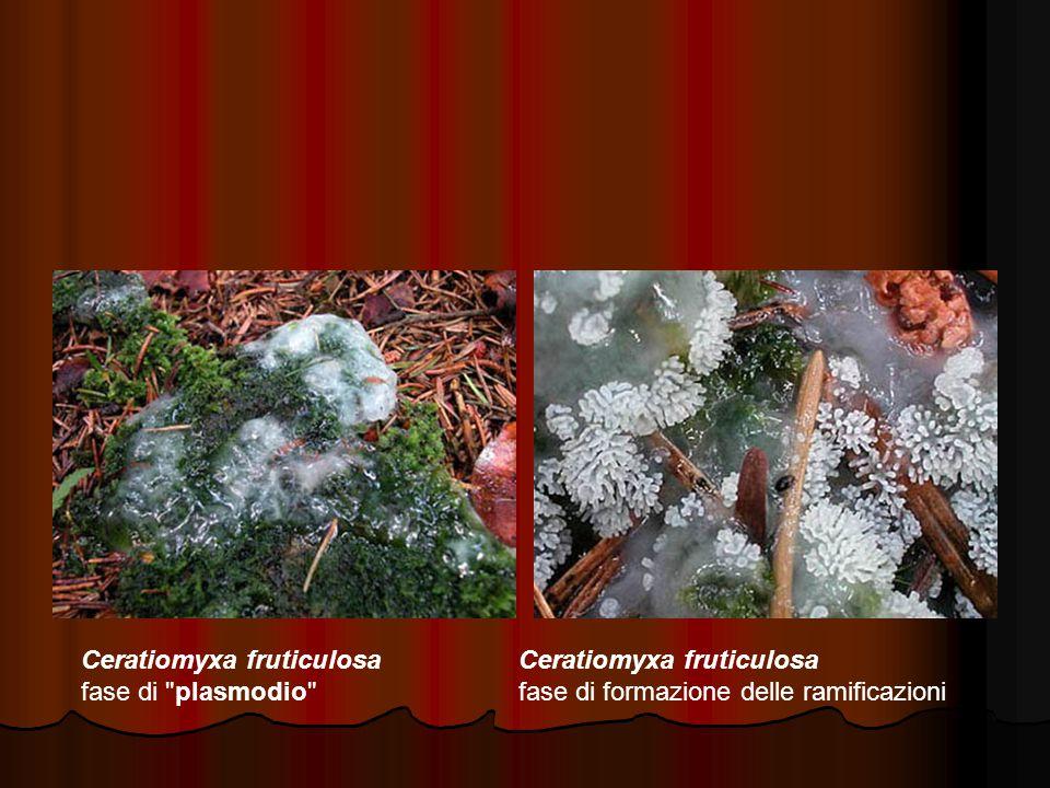 Ceratiomyxa fruticulosa fase di