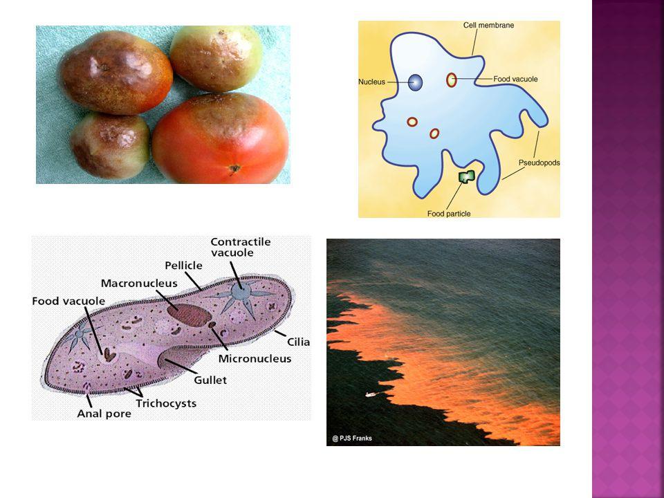 Peridinium sp  Bersifat fluoresence sehingga dapat berpendar  Menyebabkan warna merah kecoklatan di laut