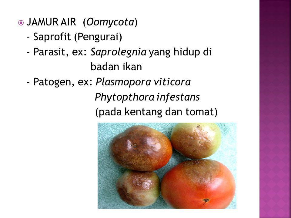  JAMUR AIR (Oomycota) - Saprofit (Pengurai) - Parasit, ex: Saprolegnia yang hidup di badan ikan - Patogen, ex: Plasmopora viticora Phytopthora infest