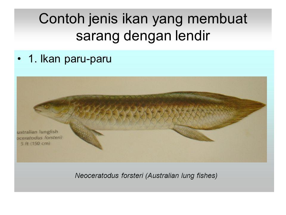 Contoh jenis ikan yang membuat sarang dengan lendir 1.