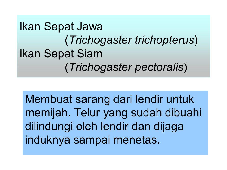 Ikan Sepat Jawa (Trichogaster trichopterus) Ikan Sepat Siam (Trichogaster pectoralis) Membuat sarang dari lendir untuk memijah.