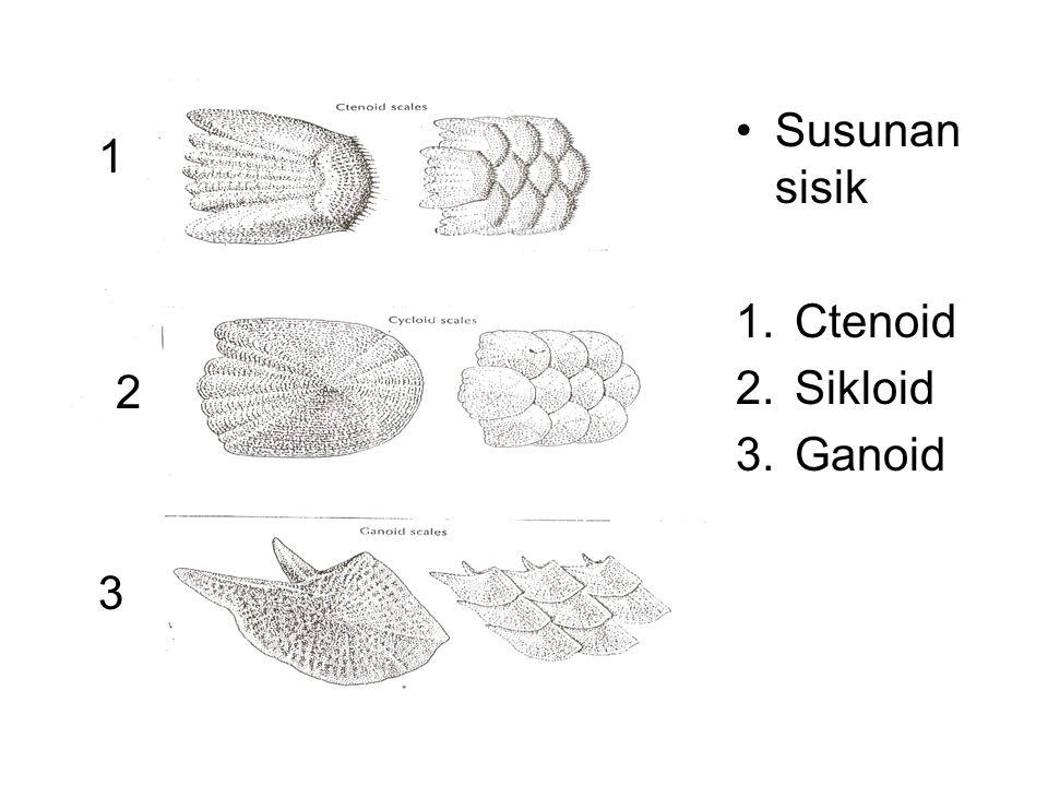 Susunan sisik 1.Ctenoid 2.Sikloid 3.Ganoid 1 2 3