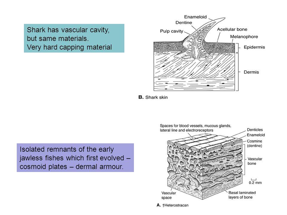 Shark has vascular cavity, but same materials.