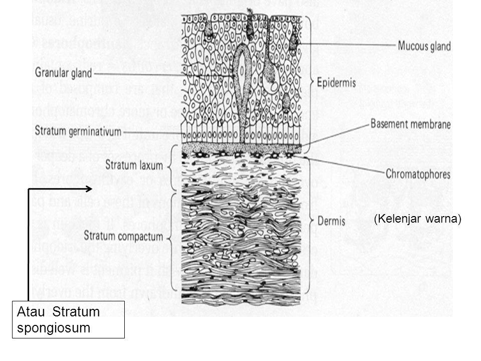 Synthesis of keratin –Water insoluble protein that fills cells –Stratum corneum of Vertebrates Selalu basah karena sel-sel kelenjar lendir di seluruh permukaan Tubuh Stratum germinativum –Cuboidal –Mitotic Division –Migrate Distally –Differentiate –Sloughed off (aktif membelah untuk mengganti sel yang terlepas dan untuk pertumbuhan) EPIDERMIS