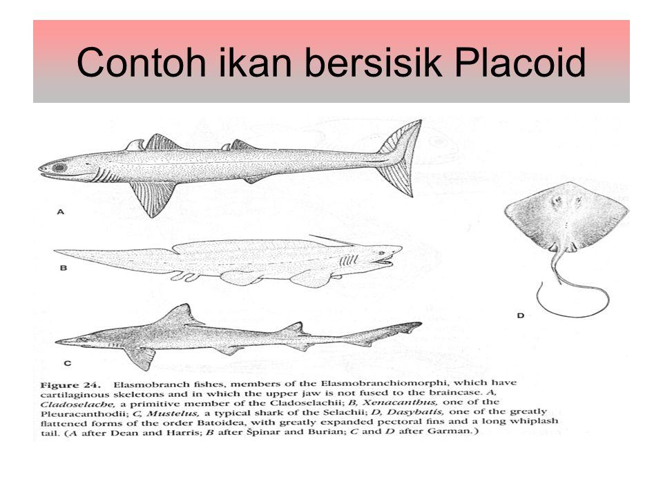 Contoh ikan bersisik Placoid