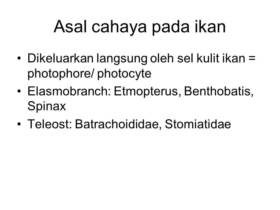 Asal cahaya pada ikan Dikeluarkan langsung oleh sel kulit ikan = photophore/ photocyte Elasmobranch: Etmopterus, Benthobatis, Spinax Teleost: Batrachoididae, Stomiatidae